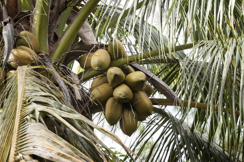 cocotier | Jujube en cuisine