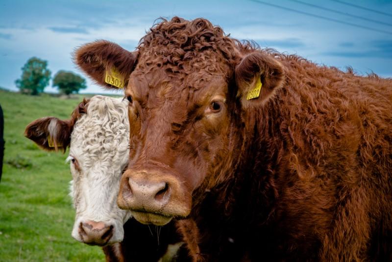 On a vu des vaches aussi | Jujube en cuisine